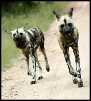 Wild Dogs in the Morning by mikewilson83