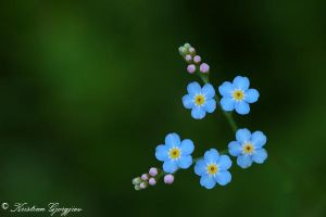 Forget Me Not by kgjorgjiev