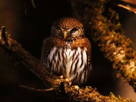 Northern Pygmy Owl by Glacierman54
