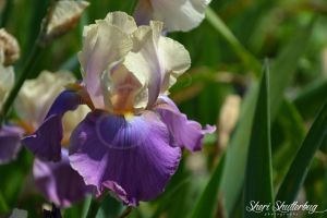 For the Love of Irises III by Scooby777