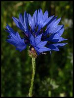 Cornflower by Pildik