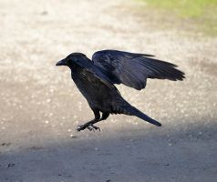 Crow Stock by FrankAndCarySTOCK