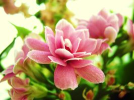 kalanchoe by Paul774