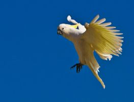 Sulphur Crested Cockatoo 169 by chezem