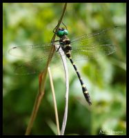 Dragonfly by Alabamaphoto