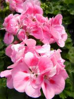 Pink Flowers. by BloodStainedSharpie
