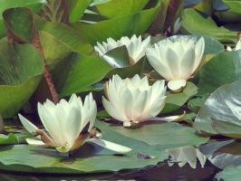 Nymphaea alba by starykocur