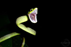 Snake in action by Mallophora