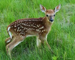 Fawns Happy Birthday.. Yipeee by natureguy