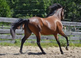 Bay morgan canter away from cam by equustock