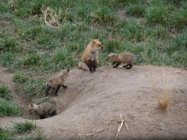 Red Fox and Cubs 2 by IckyDog
