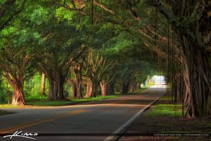 Ficus-Trees-on-Bridge-Road-Hobe-Sound-Florida by CaptainKimo