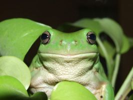 green tree frog by emyloy