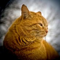 Le profil du chat roux by madlynx