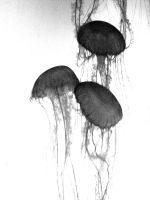 Jellies by dancincow161