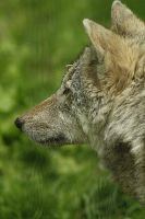 close-up wolve by marob0501