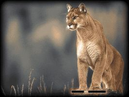 Mau Collection: Cougar by Palii