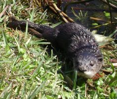 Otter 5 by CanisCamera