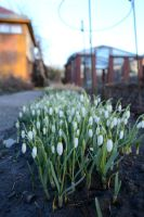 snowdrops by SuzakuPL