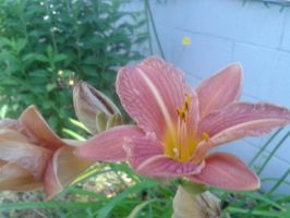 Lily 2 by Guiding-Light-HM