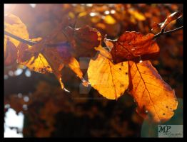 -20- Sunlight Leaves by MiriamPeuser