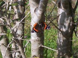 Red Admiral Butterfly by Useless--Fox