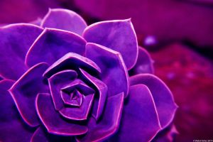 Violet Succulent. Gawler, South Australia by VioletAshes