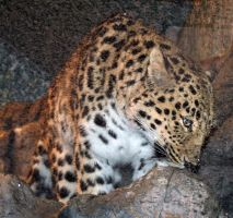 Denver Zoo 55 Leopard by Falln-Stock
