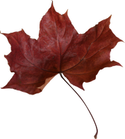 red maple leaf - rotes Ahornblatt Herbstlaub by Nexu4