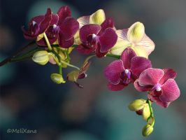 Phalaenopsis 3 by Martina-WW