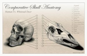 Comparative Skull Anatomy by Novastar2486