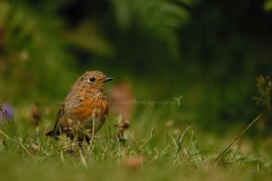 Juvenile robin by Sarah-Hann-photo