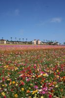 Rose Fields Forever by caman213