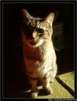 For Prongsie -:- Sunlit Kitty by Toadychan