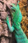 Green Tree Monitor Climbing by DingoDogPhotography