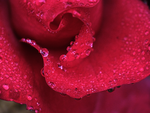 Rosely droplets by Elvira1990