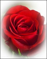 Red Red Rose by bamako