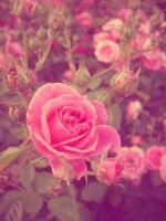 la vie en rose by digitalTouch