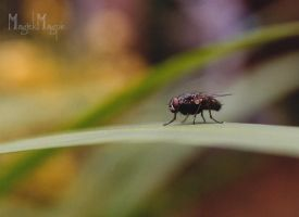 Fly at Rest. by magickmagpie