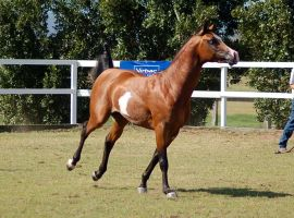 GE arab pinto canter gallop side head up by Chunga-Stock