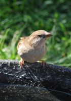 Sparrow by calger459