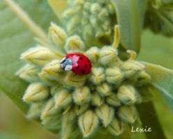 little ladybug by lexie11