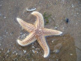 El Frederiche The Starfish by ClearyBlind