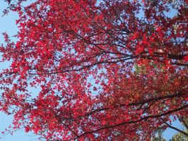 red tree in the fall by ceriandshusuke