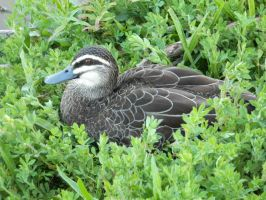 Duck 003 - HB593200 by hb593200