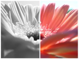 gerbera by thenata