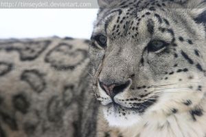 Snow Leopard by timseydell