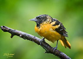 Soggy Oriole by DGAnder