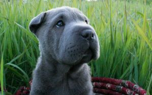 Shar Pei in the Grass by LauraWixson
