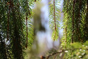 Norway spruce (Picea abies) by minamiko